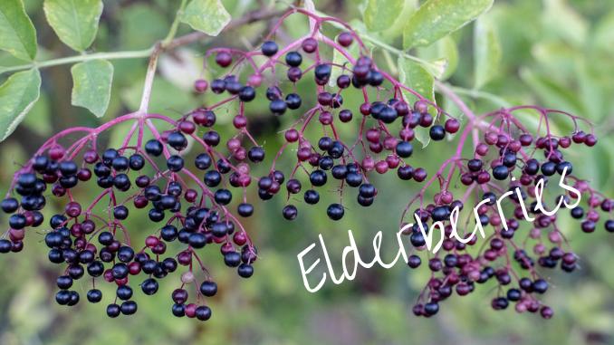 foraging with kids elderberries
