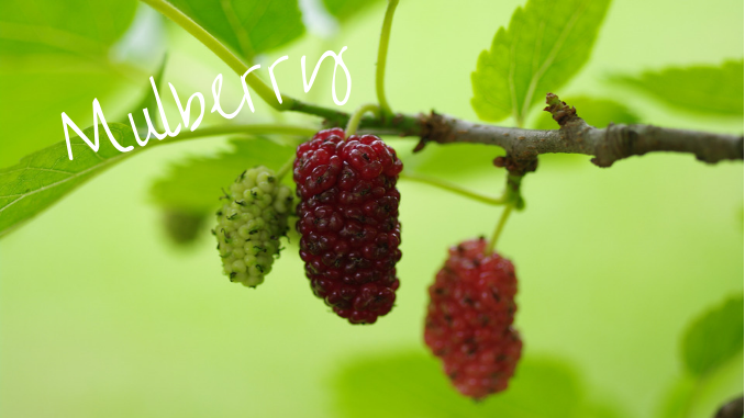 foraging with kids mulberries
