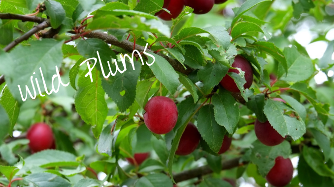 foraging with kids wild plums